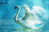 swan-rain